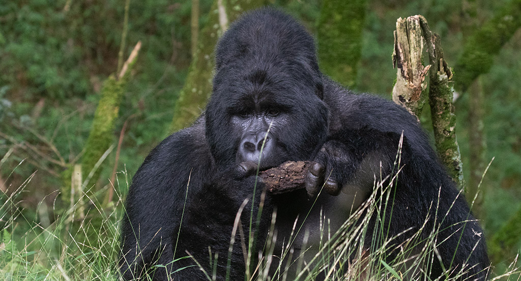 Gorilla-and-Birding-safaris