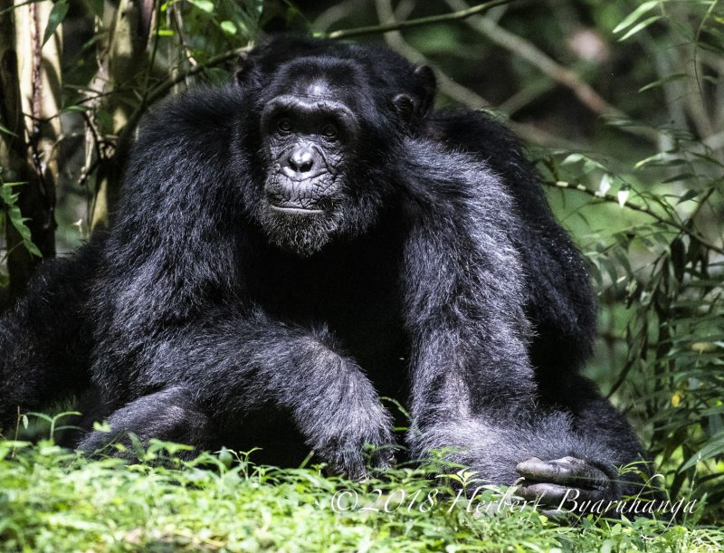 Chimpanzee Encounters Uganda