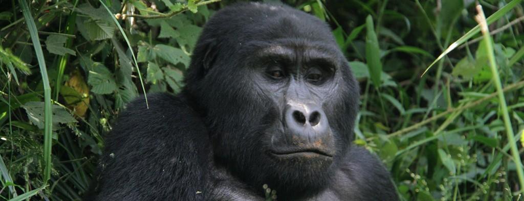 Bwindi Gorilla Trekking Safaris