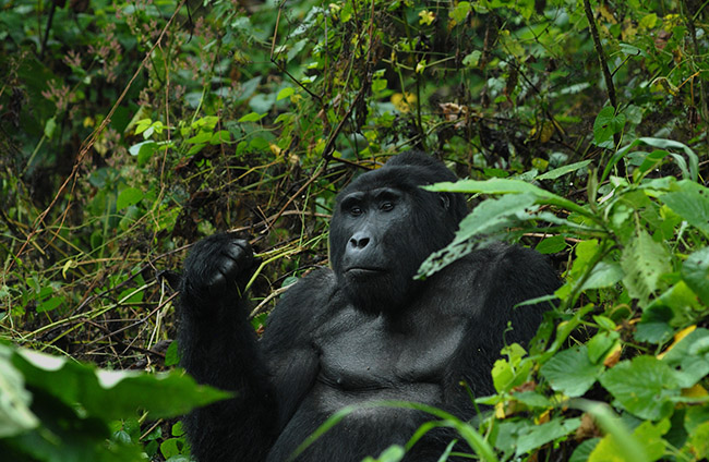 Birding and Gorillas - Uganda Mountain Gorilla Silver Back