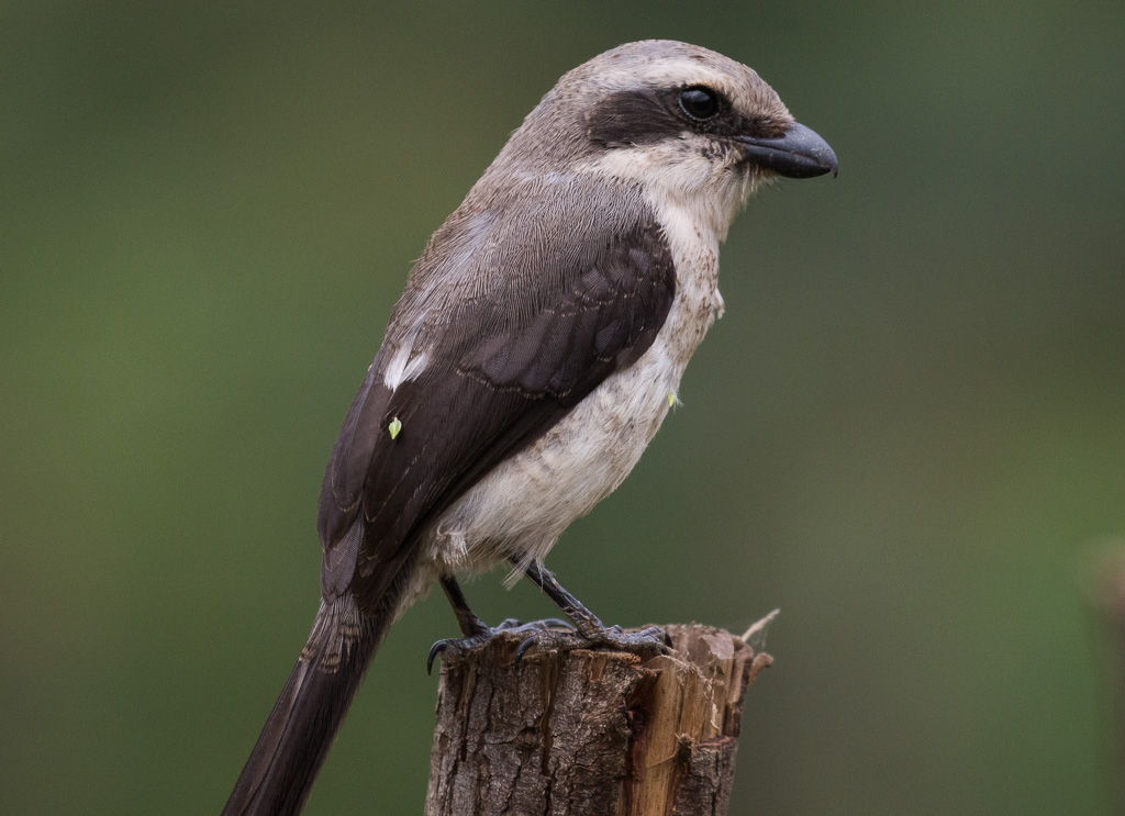 Birding and Gorillas - Mackinnon's shrike at Bwindi Forest