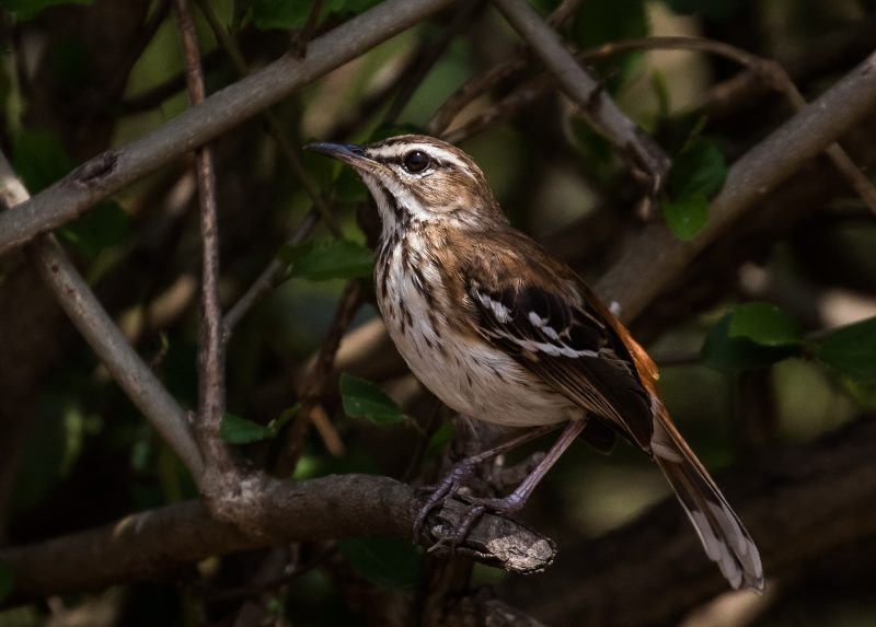 Birding and Gorillas - White Browed Scrub Robin