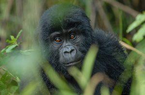Mountain Gorilla in Bwindi Forest Uganda