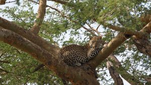 Leopard relaxing at Murchison Falls National Park