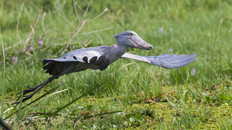 Shoebill Uganda Birding
