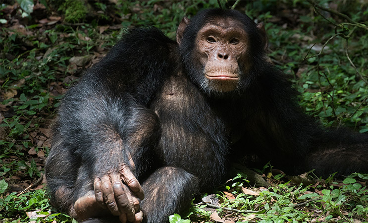 Chimpanzee seen during the 18 Days Uganda Birding Tour